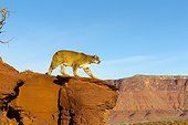 Puma walking on a rock - Utah USA