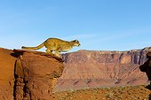 Puma taking a spring on a rock - Utah USA
