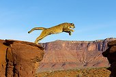 Puma jumping from a rock - Utah USA