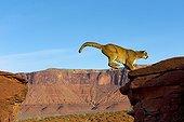 Puma jumping on a rock - Utah USA