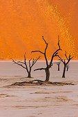 Dead acacia trees at Dead Vlei - Sossusvlei Namib Namibia