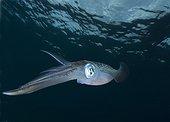 Bigfin reef Squids swimming under surface - Fiji