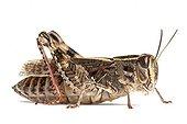 Grasshopper - Normandie