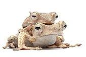 File-eared Tree Frog