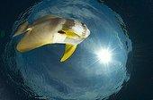 Circular spadefish - Papua New Guinea