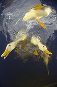 Domestic ducks on the surface - New Zealand