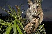 Juvenile Brushtail Possum on tree root - New Zealand