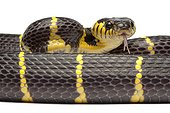 Portrait of Mangrove Snake on white background ; Native to Southeast Asia