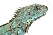 Portrait of Green iguana blue form on white background ; Native to central America