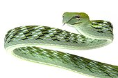 Oriental Whipsnake on white background ; Native to Southeast Asia