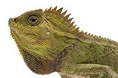 Portrait of Chameleon Forest Dragon on white background ; Native to Indonesia and Malaysia