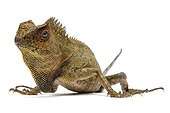 Chameleon Forest Dragon on white background ; Native to Indonesia and Malaysia