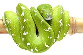 Green Tree Python 'Aru' on white background ; Native to New Guinea