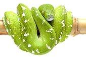 Green Tree Python 'Aru' on white background ; Native to New Guinea