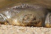 Portrait de Tortue de Cantor sur sable - Cambodge