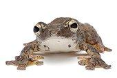 Flying Frog on white background ; Native to Vietnam