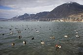 Lake Leman (Geneva) at the end of the winter - Switzerland ; View from Villeneuve (Vaud) - In the background : Montreux. Numerous birds are swimming on the Lake.