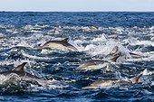 Long-beaked common dolphins on the surface - South Africa ; Seal Island