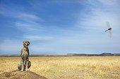 Cheetah sitting in savannah - East Africa