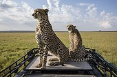 Cheetahs sitting on a vehicle vision - East Africa