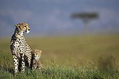 Cheetah and young in savanna - East Africa