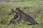 Cheetah stifling a Gazelle - East Africa