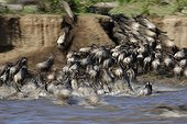 Gnous à queue noire traversant une rivière -Afrique de l'Est