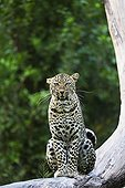 Leopard on a branch - East Africa