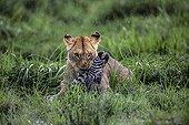Lioness stifling a Zebra - East Africa