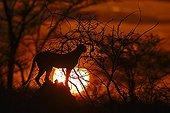Cheetah at sunrise - East Africa