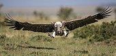 Vautour africain en vol  - Afrique de l'Est