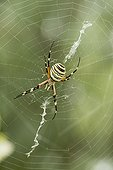 Wasp Spider on its web waiting for a prey - Spain
