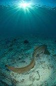 Leopard Shark on sandy bottom - New Caledonia