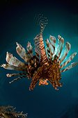Red Lionfish swimming back - New Caledonia