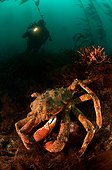 Antarctic crab and diver - Enderby Island  New Zealand