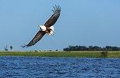 African Fish Eagle fishing in flight - Kenya