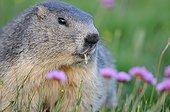 Marmotte des Alpes et fleurs d'Armérie- Queyras Alpes France