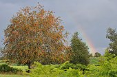 Rowan and rainbow -  France ; Plateau de Millevaches