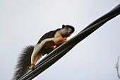 Prevost' squirrel on a cable - Taman Negara Malaysia