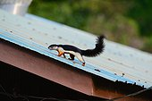 Prevost' squirrel on a roof - Taman Negara Malaysia