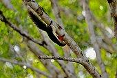 Prevost' squirrel on a branch - Taman Negara Malaysia