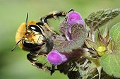 Hairy footed flower bee on flower - Vosges du Nord France