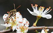 Bee on blackthorn flowers - Vosges du Nord France  ; Parasite Bee of Andrena fulva