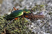Ground beetle eating a centipede - Vosges du Nord France
