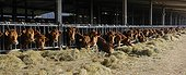 Limousin cows eating hay - Vosges du Nord France