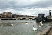 Swans on the Rhone and barge - Lyon France