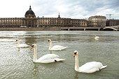 Swans on the Rhone - Lyon France