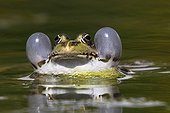 Portrait of male Lowland frog in a pond - France