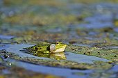 Green frog singing on lily leaf yellow - France