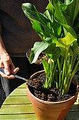 Coffee ground mulching on planted pot in a garden